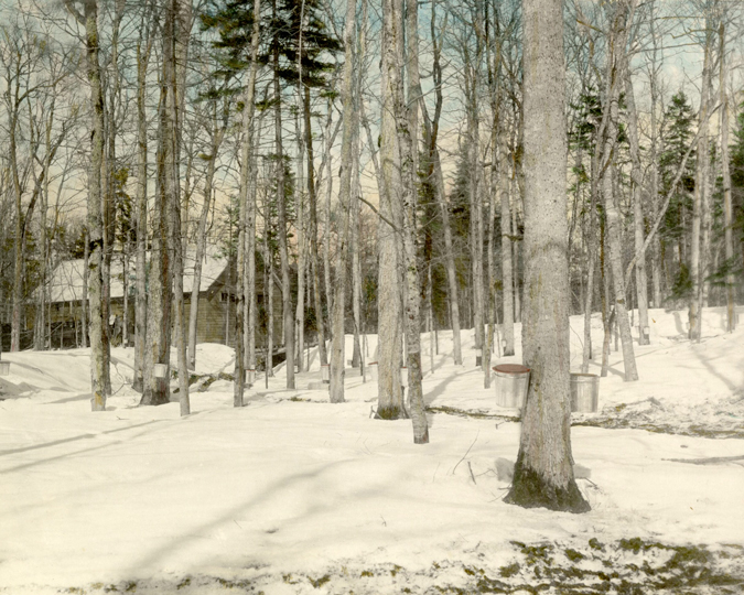 Maple trees with buckets attached to collect sap for making maple syrup.